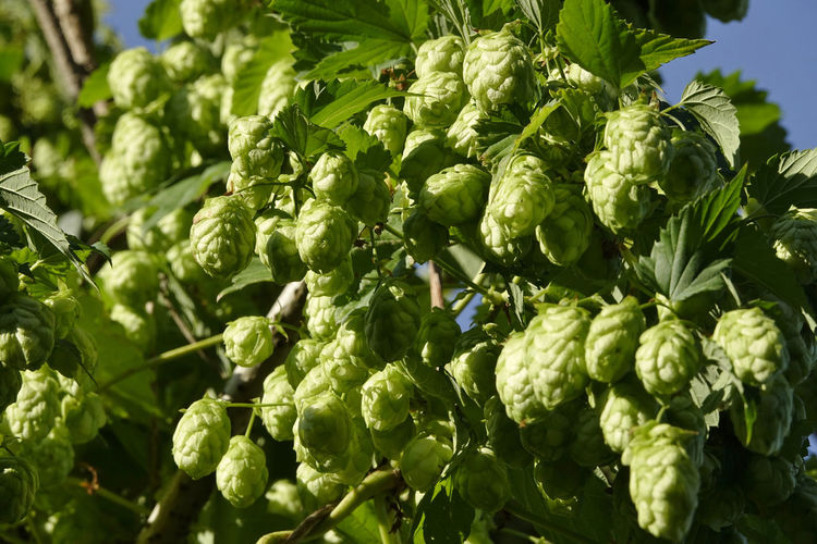 Hopfen,Germany Bier Hopfenpflanze Agriculture Beauty In Nature Close-up Day Food Food And Drink Freshness Green Color Growth Healthy Eating Hopfen Leaf Nature No People Outdoors Plant Plant Part Raw Food Selective Focus Sunlight Vegetable Vegetarian Food Wellbeing