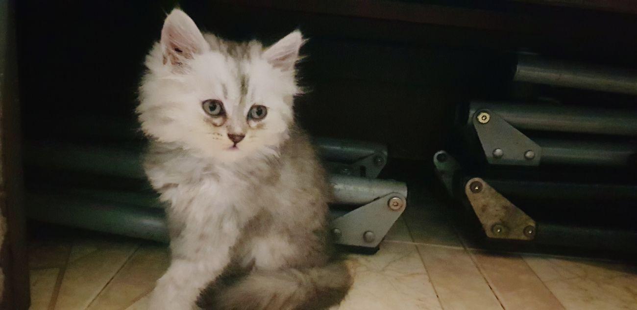 Còn mình là Neo Kitten Pets Portrait Feline Domestic Cat Looking At Camera Cute Sitting Animal Hair