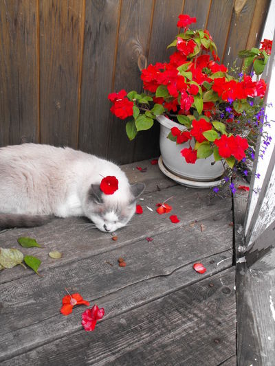 Old white cat sleeping on the porch Domestic Pets Domestic Animals Animal Themes One Animal Mammal Animal Cat Domestic Cat Feline Flower Plant Vertebrate Flowering Plant Red No People High Angle View Nature Freshness Relaxation Whisker Balsam Flower Porch Sleeping Cat Red Flowers