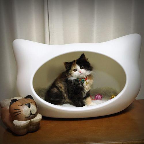 可愛い~❤️ Domestic Cat Pets Domestic Animals One Animal Mammal Animal Themes Feline Looking At Camera Cat Sitting Whisker Portrait Indoors  No People Siamese Cat Day にゃんこ KAWAII 猫 ねころん Millennial Pink Live For The Story