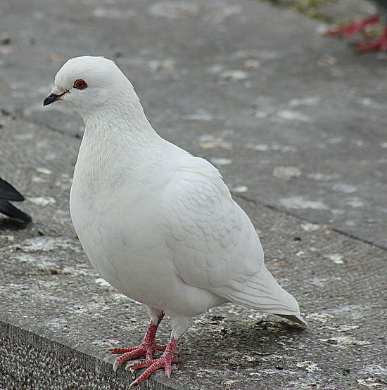 Snowwhite Dove Pigeon Duif Weisse Taube Peace ✌ Telephoto Streamzoofriends Streamzoofamily Bns_nature Lovelynatureshots thingswithwings #bird#bird photography