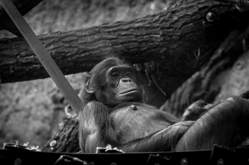 Low angle portrait of chimpanzee relaxing by tree at zoo