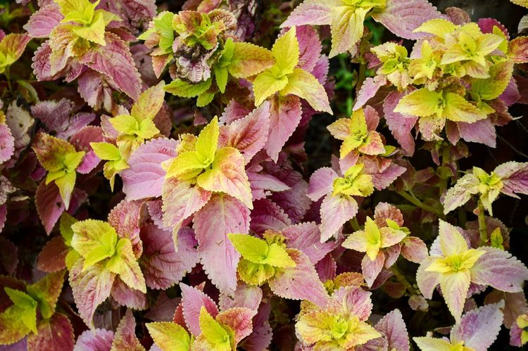 Coleus atropurpurrus plant in nature garden Beautiful Coleus Coleus Atropurpurrus Pink Plant Autumn Beauty In Nature Close-up Day Fragility Growth Leaf Leaves Nature No People Outdoors Plant Yellow