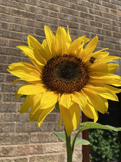 Close-up of yellow sunflower against wall