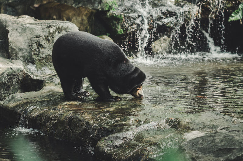 bear drinking Bear Animal Animal Themes Animal Wildlife Animals In The Wild Black Bear Day Drinking Drinking Animal Flowing Water Lake Mammal Motion Nature No People One Animal Outdoors Tree Vertebrate Water Waterfall Waterfront Zoology