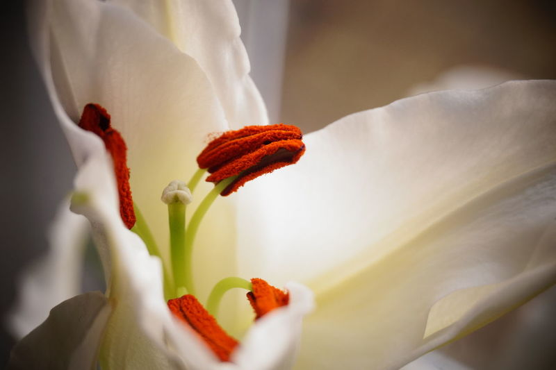 8907 Beauty In Nature Close Close Up Close-up Closeup Day Day Lily Flower Flower Head Fragility Freshness Growth Macro Macro Photography Nature No People Outdoors Petal Pistil Plant Pollen Stamen