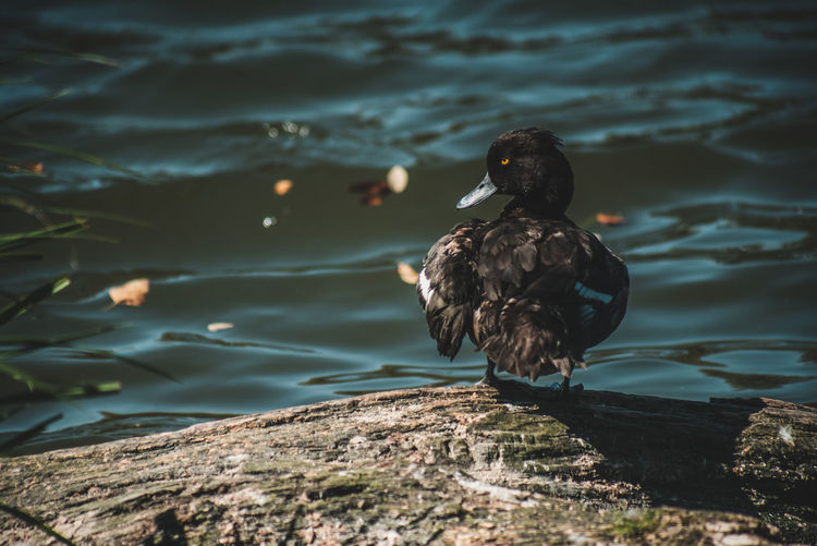 Duck perching on rock by lake