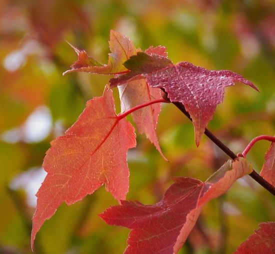 Leaf Close-up Autumn Change Focus On Foreground Leaves Season  Growth Leaf Vein Plant Nature Fragility Beauty In Nature Day Branch Tranquility Outdoors Botany Fall Fall Beauty Red