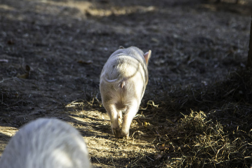 pigs on a farm Animal Animal Themes Mammal Vertebrate Animal Wildlife Livestock Domestic Animals Land Nature Field Domestic One Animal Young Animal Animals In The Wild Pets Day No People Pig Outdoors Herbivorous