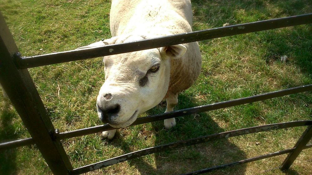 Sheep🐑 Farm Animals Farm Life Farm Graves Park, Sheffield Grass Fence Animal_collection Animal