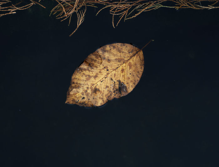 Fall leaf floating on dark water. Beauty In Nature Black Background Close-up Fall Fall Colors Fall Leaf Nature Night No People Outdoors