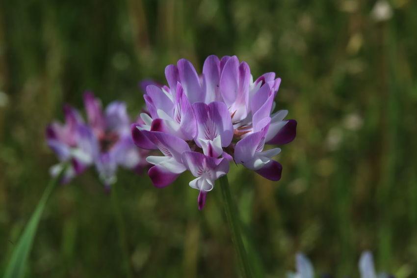 畑のレンゲ草。岐阜県大垣。 Flower Beauty In Nature Spring Field Purple Flower Photography Flower Photgraphy れんげ草 Astragalus