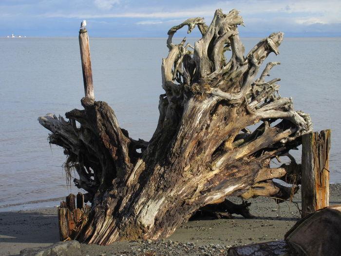 3 Crabs Driftwood Art Lighthouse Olympic Peninsula, Washington Strait Of Juan De Fuca Washington Driftwood Dungeness Bay Dungeness Spit Environmental Clean Up Roots Of Tree Seagull Tree Stump