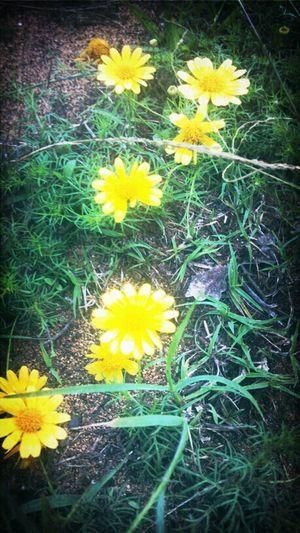 Baby Sunflower :) ♥