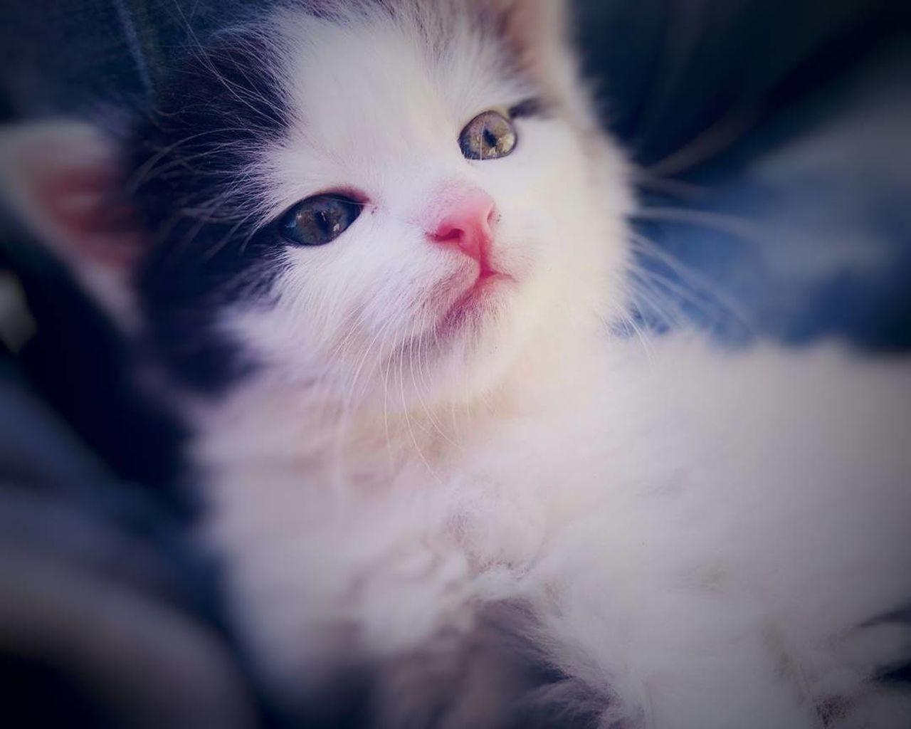 domestic cat, pets, domestic animals, animal themes, one animal, portrait, feline, looking at camera, mammal, no people, indoors, close-up, day, persian cat