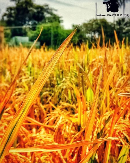 Picture of the day! Kathirrucapturing Mobilephotography Risefield Paddy Field Reddish… Sunlight