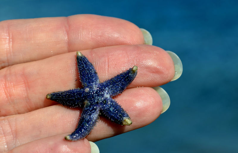Animal Wildlife Animals In The Wild Blue Body Part Close-up Finger Focus On Foreground Hand Holding Human Body Part Human Finger Human Hand Marine One Animal One Person Outdoors Personal Perspective Purple Real People Sea Animal Starfish  Starfish  Unrecognizable Person