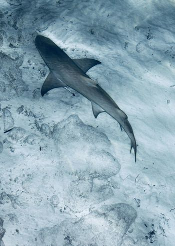 shark swimming away, Indian Ocean, maldives Copy Space Holiday Indian Ocean Maldives The Week On EyeEm Travel Animal Themes Animal Wildlife Animals In The Wild Blue Fish Nature No People Outdoors Pattern Sea Sea Life Shark Swimming Swimming Away Texture UnderSea Underwater Water