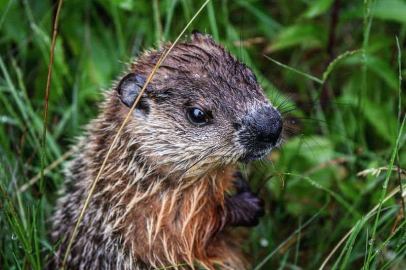 Mammal Animals In The Wild Rodent Field Whisker Nature