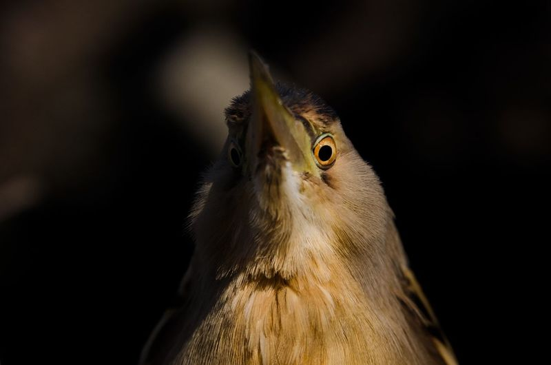 Tarabusino Close-up Animal Wildlife Looking At Camera Animal Eye Animal Head  Eye