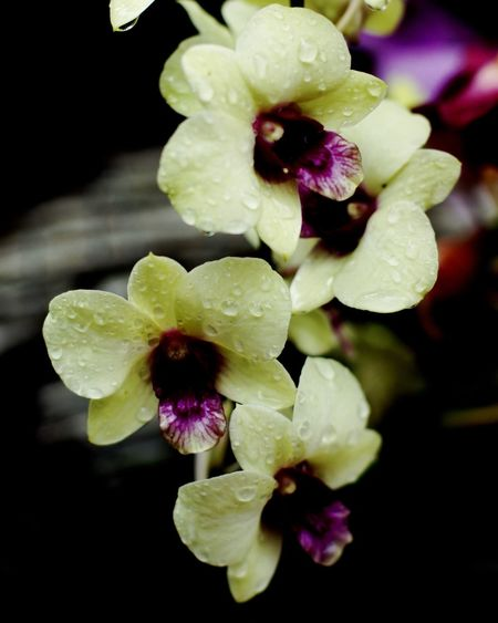 Orchid^^ Flower Orchids Close-up Nature Macro Nature Photography Photooftheday Sonyalpha SonyA500 Fix50mm Nofilter Chanthaburi Thailand