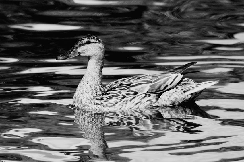 Animals In The Wild Water Bird Animal Wildlife Animal Themes One Animal Nature Swimming Lake Outdoors No People Day Mother Duck Black And White Friday