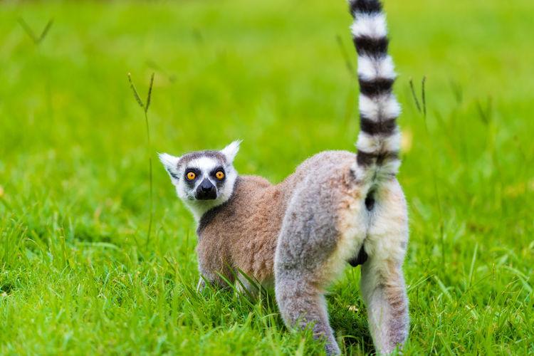 Portrait Of Lemur On Grassy Field