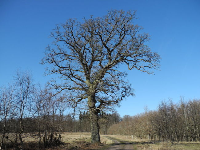 Tree Clear Sky Nature No People Outdoors Sky Bare Tree Day Branch Beauty In Nature Close-up - in The Danish Countryside