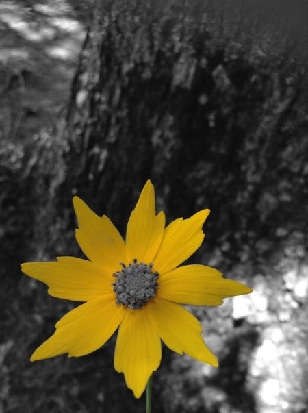 Flower Petal Yellow Fragility Flower Head Growth Nature Freshness Beauty In Nature Outdoors Day Plant Blooming Close-up Focus On Foreground No People