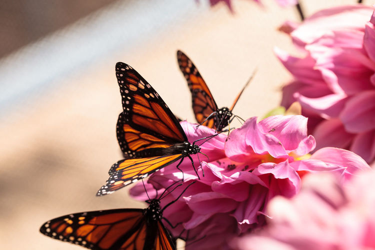 Close-up of butterflies perching on flower