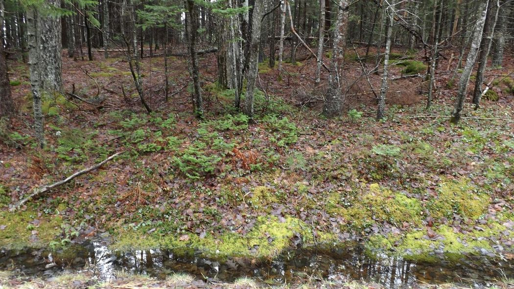 Forestfloor Early Spring Moss Mossyforest Stream Plant Life Cold And Damp Day Maine Acadianationalpark Forest Floor