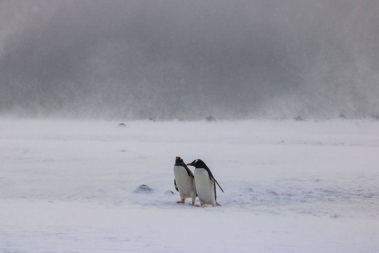 Two gentoo penguins standing in a snow storm at yankee harbour, antarctica.