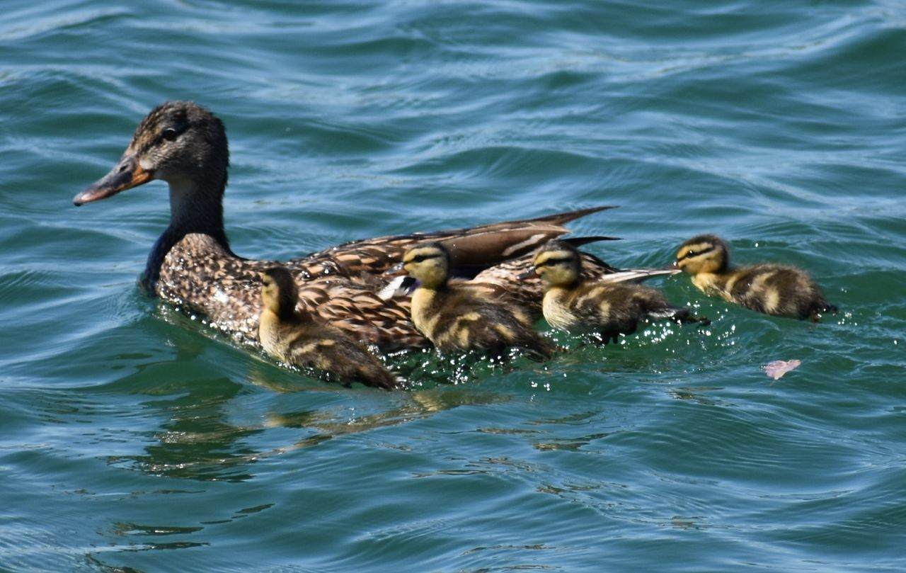 animals in the wild, animal themes, water, bird, lake, young bird, waterfront, animal wildlife, nature, young animal, swimming, day, togetherness, no people, water bird, outdoors, duckling