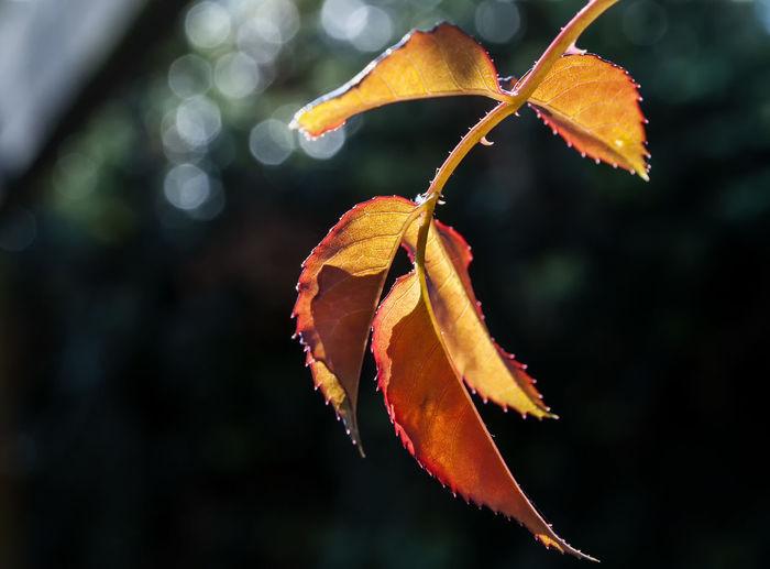 Close-Up Of Orange Leaf On Branch