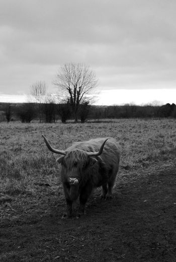 Who Eats Who? Black & White Otterbourne Animal Themes Beauty In Nature Blackandwhite Day Domestic Animals Field Grass Highland Cattle Landscape Livestock Mammal Nature One Animal Outdoors Shawford Sky Tree