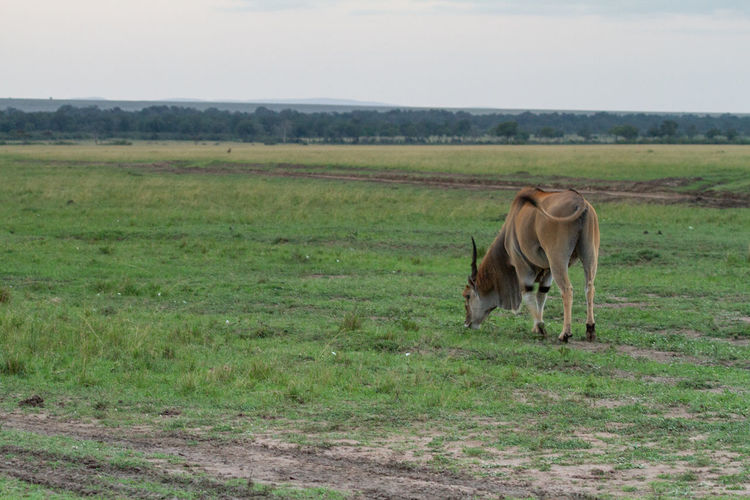 Eland - the largest antelope in the world, grazing in a green pasture