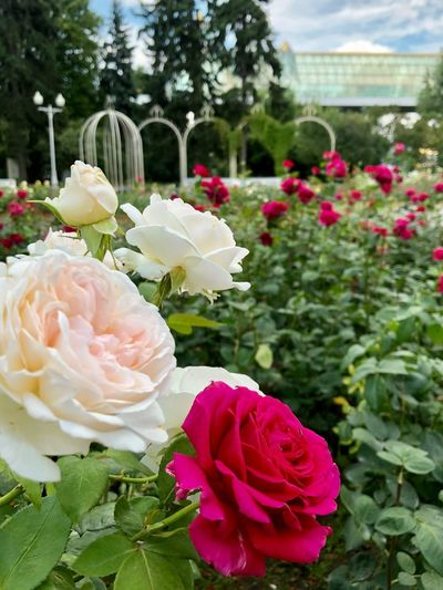 Plant Nature Close-up No People Beauty In Nature Outdoors Focus On Foreground Vulnerability  Flowering Plant Flower Fragility Petal Freshness Flower Head Inflorescence Rose - Flower Pink Color Rosé Leaf Plant Part Softness Moscow Park Gorkogo Gorky Park Garden Rose Garden Roses