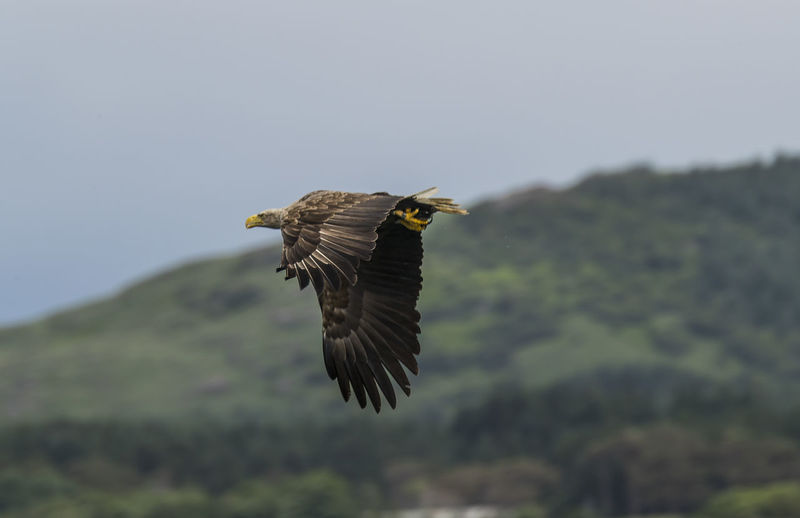 Low angle view of sea eagle flying against mountain