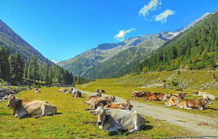 Eyeemnaturelover💕💕😊☺ Landscape_photography Austria ❤ IlloveTirol Mountain View IloveZillertal Cattle Koeien In Het Weiland Cows Animalposing