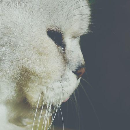 EyeEm Eyes Cats Eyes My Garden My Cat Persian Pet Cat Feline Misty Cat Nose Tongue Out