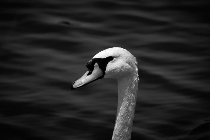 Swan Lake. Dubai Qudralake UAE Blackandwhite Black And White Black & White Feathers Swan Lake Shadows Depth Water Contrast Bird Drops Wet Fishing