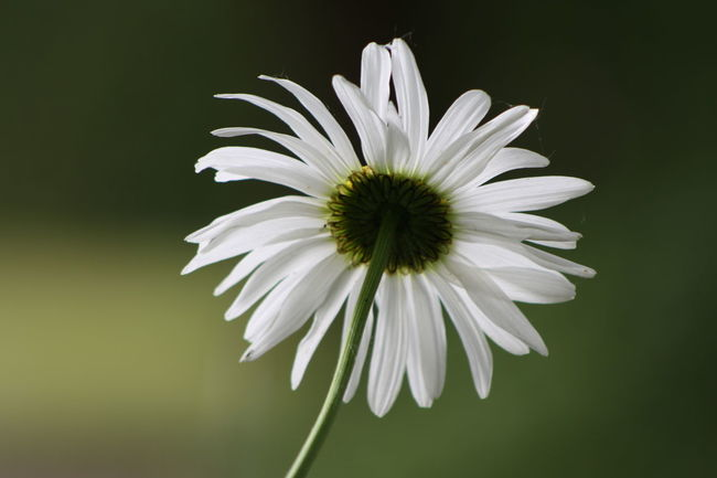 Daisy Backgroundblur Backlit Daisy Beauty In Nature Blooming Blossom Close-up Daisy Daisy Flower Flower Head Focus On Foreground Fragility Freshness Growth In Bloom Nature Petal Plant Pollen Selective Focus Single Flower Stem White Color
