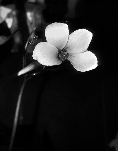 Bnw_flowers Bnw_friday_eyeemchallenge Blancoynegro Bnw_collection Bnw In Between The Flowers~entre Las Flores Flores Rosas Nem Nature NEM Black&white Flower Nature Petal Close-up Beauty In Nature Fragility Flower Head Freshness Plant Growth