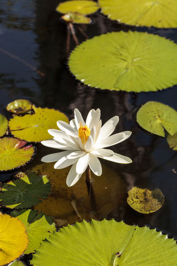 White water lily Nymphaea blooms in the Corkscrew Swamp Sanctuary in Naples, Florida Flowres Nymphaea Nymphaeaceae White Water Lily Beauty In Nature Flower Flower Head Flowering Plant Flowers Fragility Freshness Growth Inflorescence Lily Pad Petal Plant Pollen Vulnerability  Water Garden  Water Lily White Flower