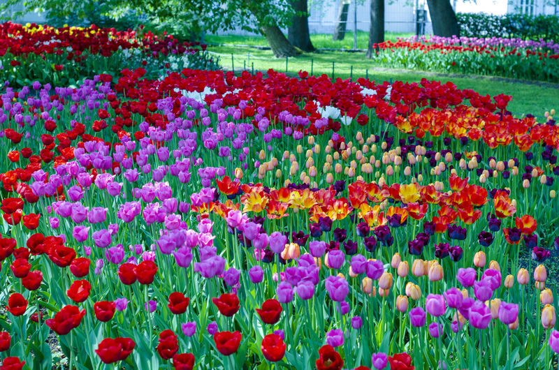 Flower Flowering Plant Plant Freshness Multi Colored Tulip Beauty In Nature Growth Vulnerability  Fragility Abundance Nature Flowerbed Variation Close-up Choice Flower Head Red Day Park Springtime No People Outdoors Gardening Ornamental Garden