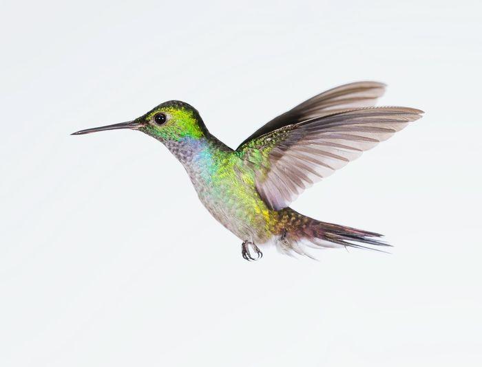 Nicolasreusens Canon1dx Reusens Canon Canonphotography Nature Hummingbird Bird Photography Bird Birdwatching Inflight Highspeedphotography