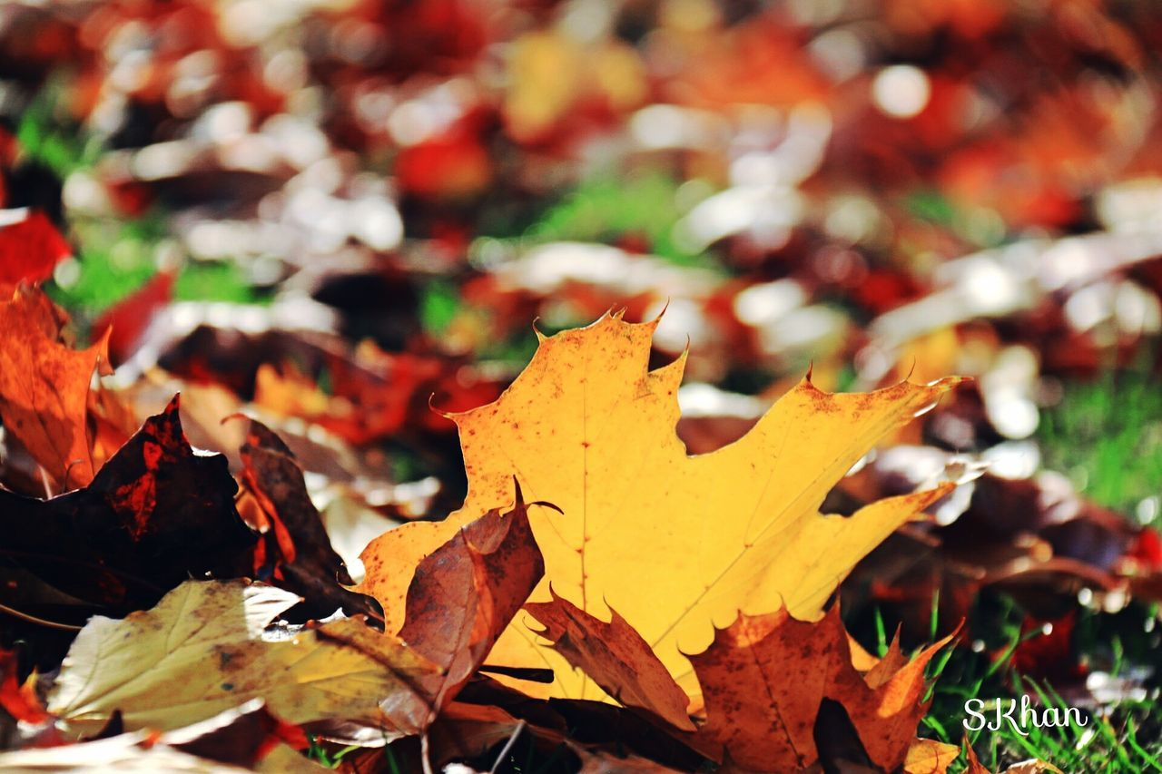 autumn, leaf, change, dry, maple leaf, leaves, nature, outdoors, no people, day, maple, close-up, beauty in nature, fragility