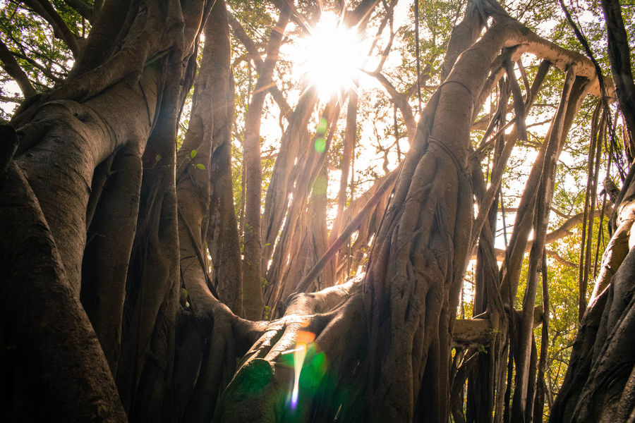 The rays of the sun shining through the branches of a banyon tree in kawela bay. Tree Nature Forest Sunlight Tree Trunk Outdoors Beauty In Nature Low Angle View Landscape Hawaii EyeEmNewHere Perspectives On Nature