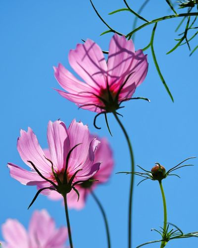 Close-up of pink flowering plant against blue sky