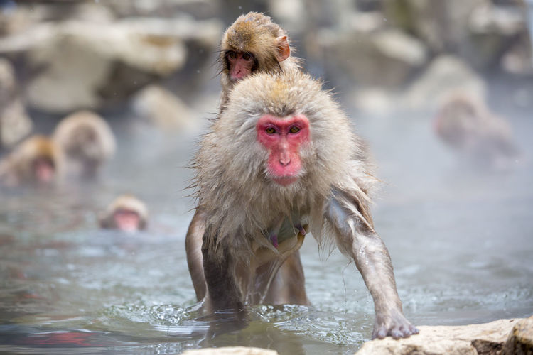 Animal Animal Family Animal Head  Animal Themes Animal Wildlife Animals In The Wild Day Focus On Foreground Group Of Animals Hot Spring Japanese Macaque Mammal Monkey Nature No People Outdoors Primate Two Animals Vertebrate Water